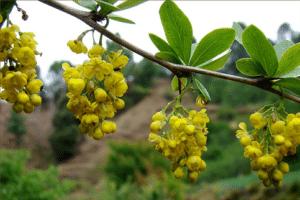 berberine-berberis-aristata
