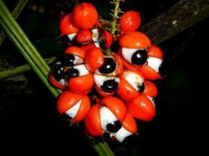 Graines sphériques du guarana qui rappellent la forme de l'œil humain