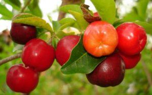Acérola, superfruit gorgé de vitamines et minéraux