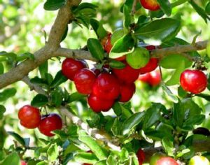 Acérola, fruit de l'acérolier de la lignée des