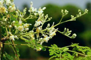 Moringa, arbre originaire de l'Inde célèbre pour ses feuilles hautement nutritives