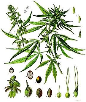 Huile extraite du chanvre cultivé, connu pour sa faible teneur en THC