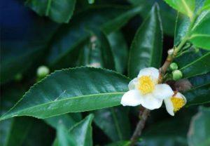 Les organes du théier utilisés pour la conception du thé blanc : bourgeons et jeunes feuilles