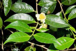 Camellia sinensis ou théier, plante riche en antioxydants