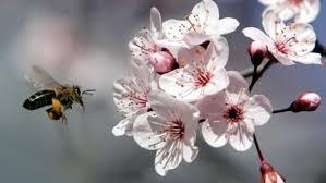 Le miel de Manuka est fabriqué par les abeilles à partir des pollens des fleurs de Manuka