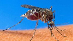 Paludisme,  ou malaria, pathologie causée par des parasites du genre Plasmodium