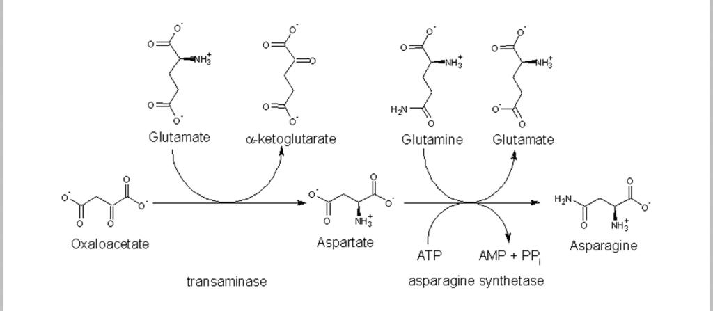 Biosynthèse de l'asparagine dans l'organisme