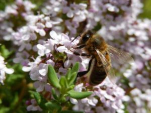Le miel de thym est obtenu à partir du miellat secrété par les fleurs de thym