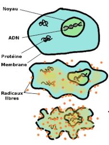 La chondroïtine est un antioxydant capable de protéger les cellules des effets des radicaux libres