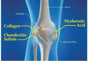 La chondroïtine favorise la synthèse endogène des composants du cartilage et du liquide synovial