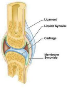 La chondroïtine est naturellement présente dans la matrice du cartilage