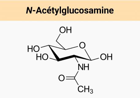 N-acétylglucosamine