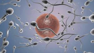 La serrapeptase agit bénéfiquement sur la fertilité masculine