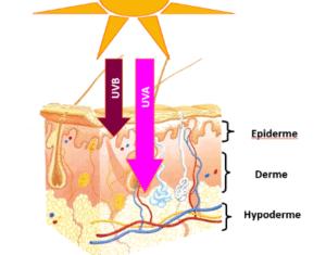 L'astragaloside IV peut prévenir le vieillissement prématuré de la peau dû aux UV