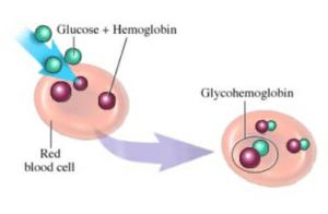 Le cycloastragenol protège contre la glycation des protéines, dont celle de l'hémoglobine