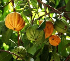 La forme des fruits de la garcinia ressemble à celle d'une citrouille