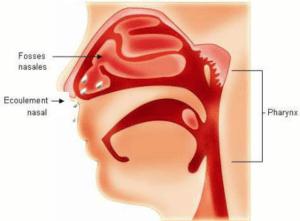 Rhinopharyngite, c'est l'infection des voies respiratoires supérieures par différentes espèces de virus