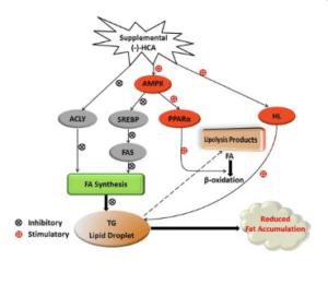 Actions de l'hydroxycitrate sur le métabolisme des lipides