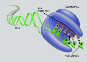 La télomérase est une enzyme dont le rôle consiste à rajouter des séquences de nucléotides aux extrémités des chromosomes