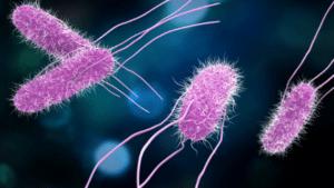 Salmonello, une toxi-infection alimentaire due à des entérobactéries du genre salmonella