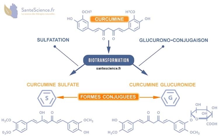 biotransformation de la curcumine