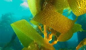 Iode de kelp