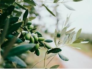 Hydroxytyrosol olive